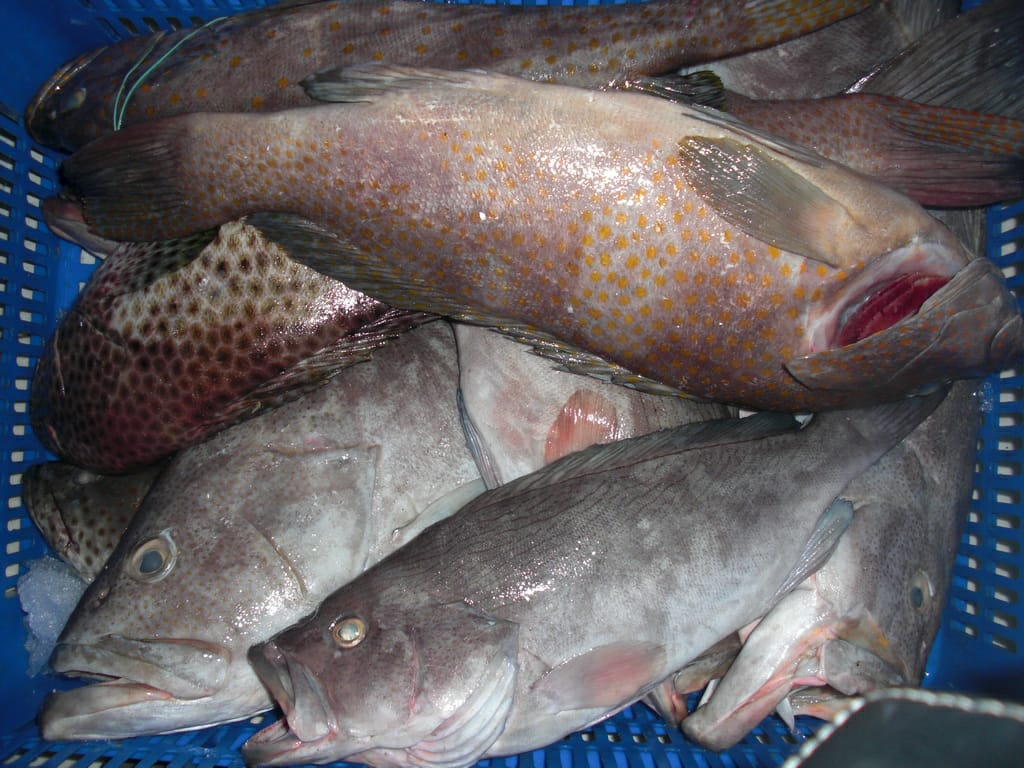 Grouper Raw Material